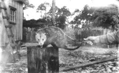 A very unhappy possum