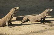 Komodo Disebut Alami Stress, Berapa Banyak Turis yang Datang?