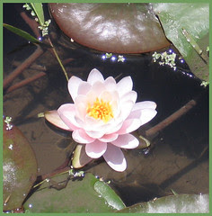 23 water lily