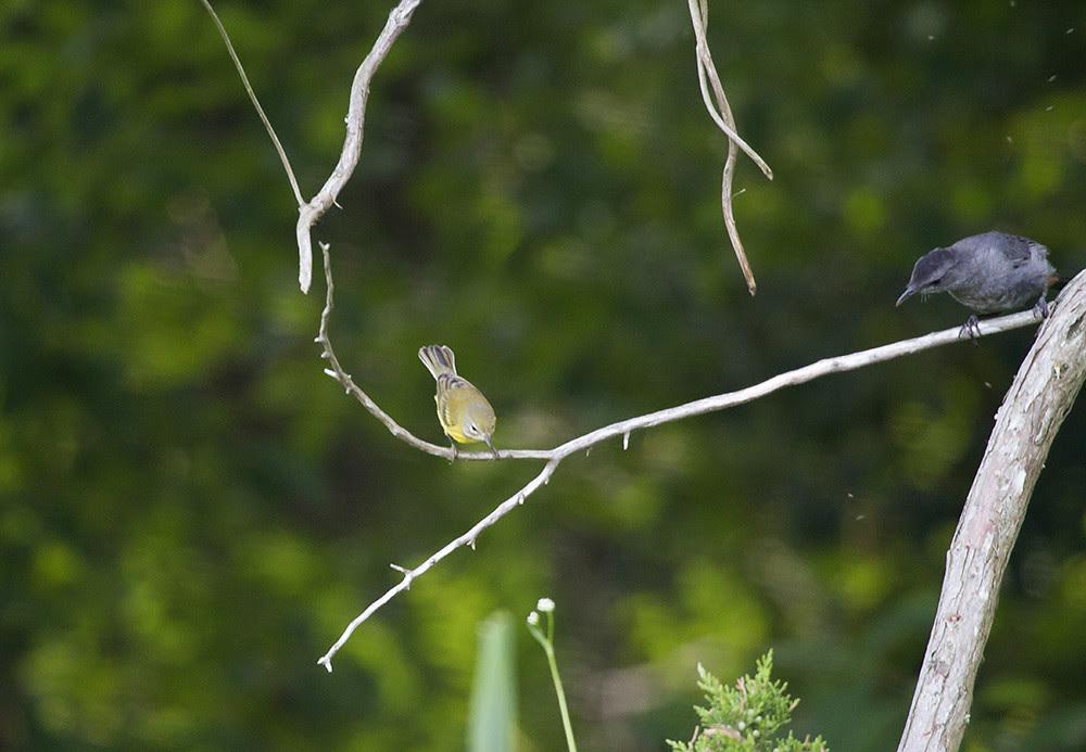 Catbird and Warbler