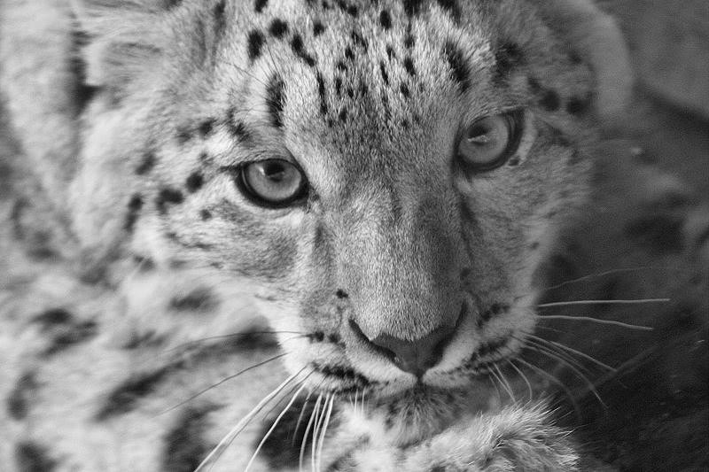 More of the snow leopard...