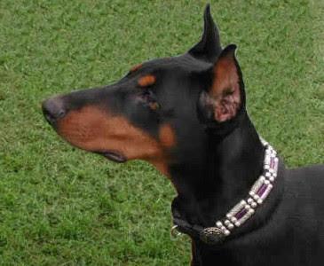 333120 As 10 raças de cães mais inteligentes 5 As 10 raças de cães mais inteligentes