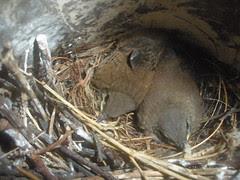 Baby Wrens
