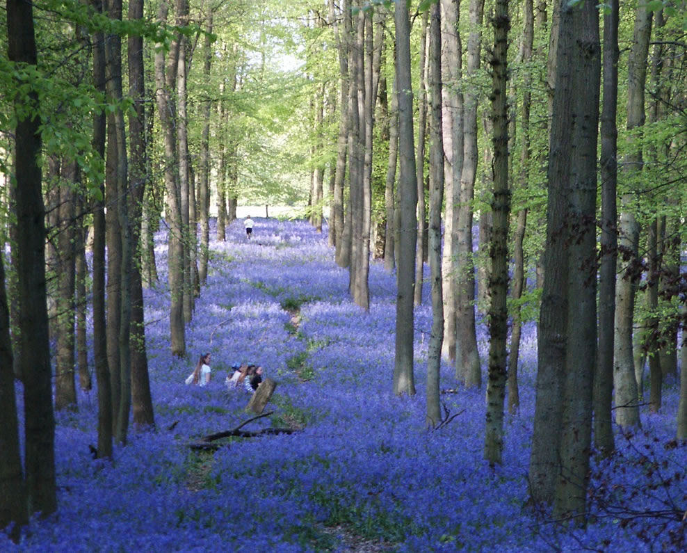 Patch of bluebell woodlands called Dockey Wood between Hurst Farm and Ivinghoe Common, UK