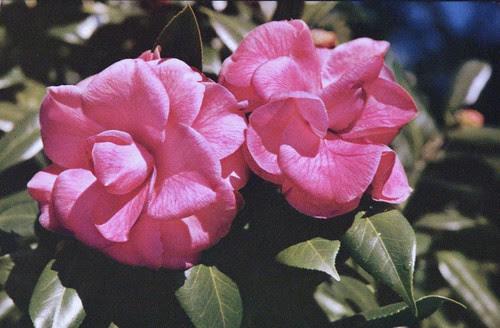 flowers 003