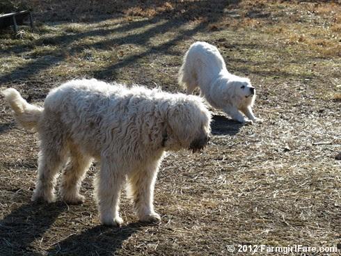 2012 Sheep shearing day 20 - FarmgirlFare.com