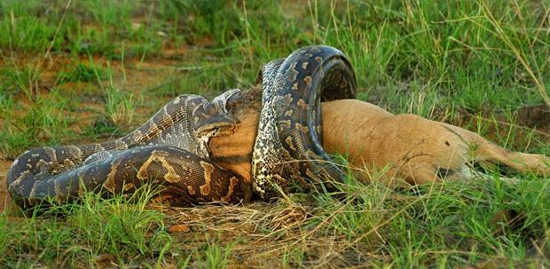 Cobra come filhote de gnu (Foto: Caters)
