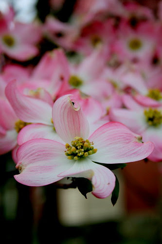 Dogwood pink!