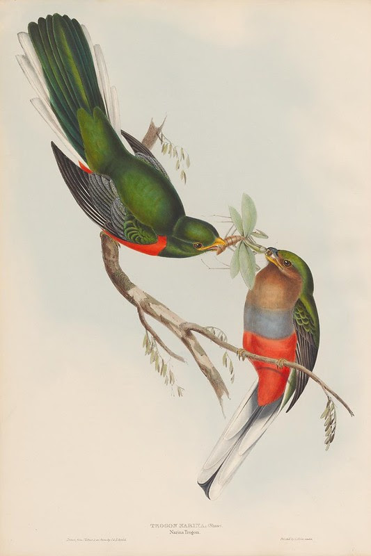 1830s ornithological lithograph by John Gould