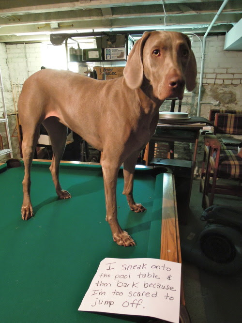 """""""I sneak onto the pool table & then bark because I'm too scared to jump off."""" - Flyin' Maya"""