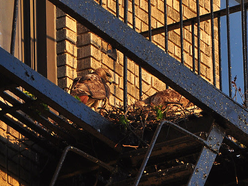 Washington Heights Red-Tail Hawks