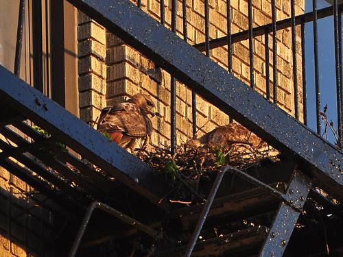 Washington Heights Red-Tail Hawks