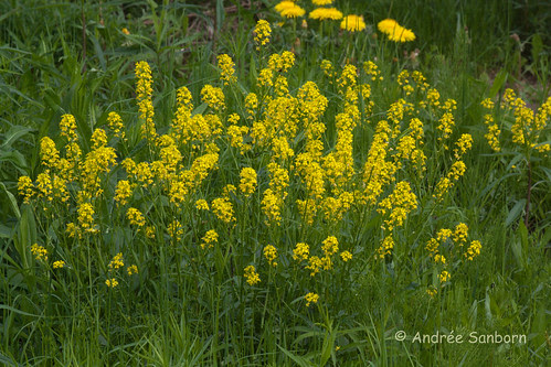 Common winter cress (yellow rocket) (Barbarea vulgaris)-1.jpg