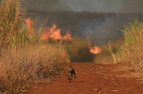 Animal flagrado pela Folha durante fuga de queimada em canavial de Sertãozinho