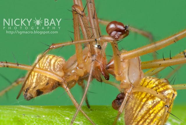Striated Tylorida Spiders (Tylorida striata) - DSC_3395