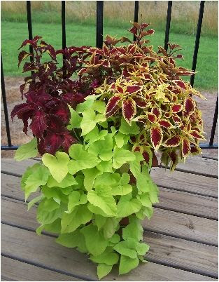 A wave of color. I plant sweet potato vines and coleus in my pots every year and they do great all summer and into fall.