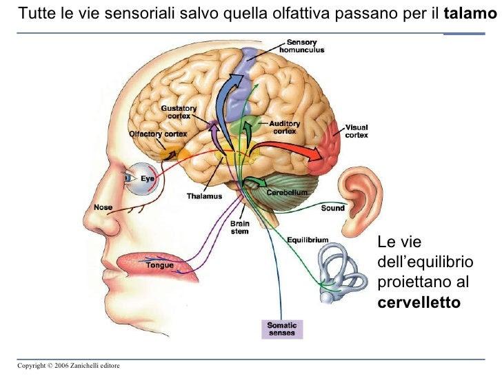 Risultati immagini per le vie nervose sensi