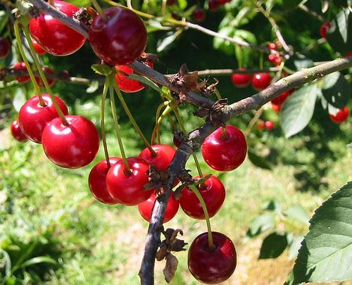 cherries 2003