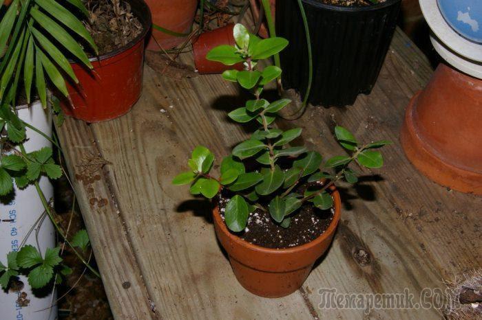 Метросидерос: уход и выращивание в домашних условиях