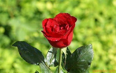 red_rose_46