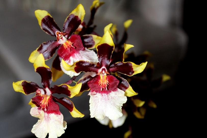 neobična orhideja
