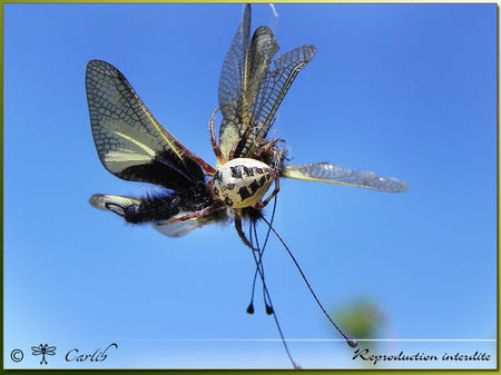 Araig_Larinioides_Cornutus_P022656