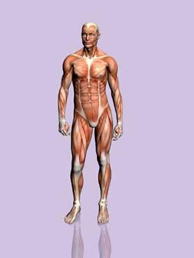 human_body_370