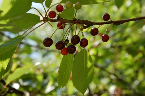 wild cherries