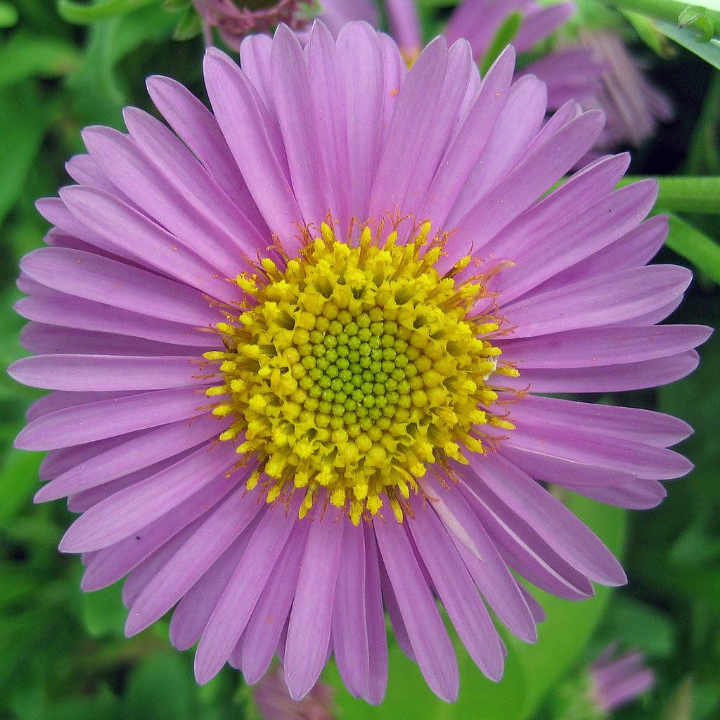 Fibonacci Phyllotaxis