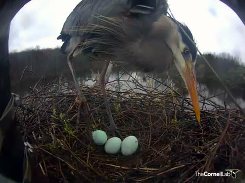 Great Blue Heron -- Third egg!