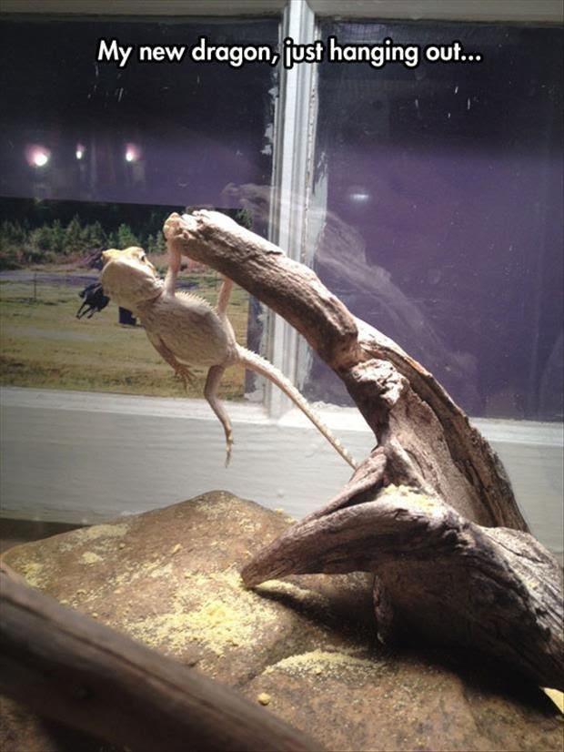 chill reptile, chill dragon, iguana, reptile, pet reptile, pet dragon, pet iguana