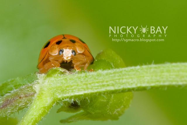 Ladybird (Coccinellidae) - DSC_7513