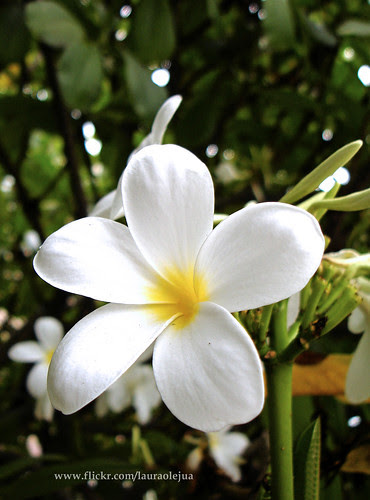 White flower by Laura Olejua - www.lauraolejua.com