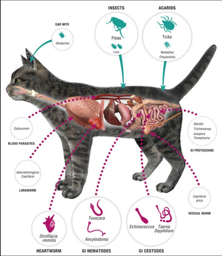 Fleas Ticks Worms The Cat Vet