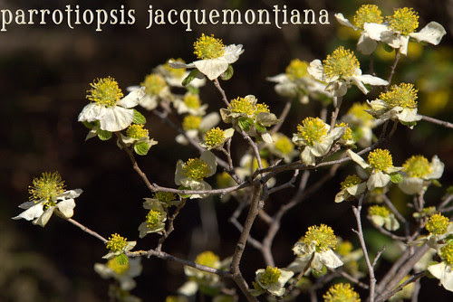 parrotiopsis jacquemontiana
