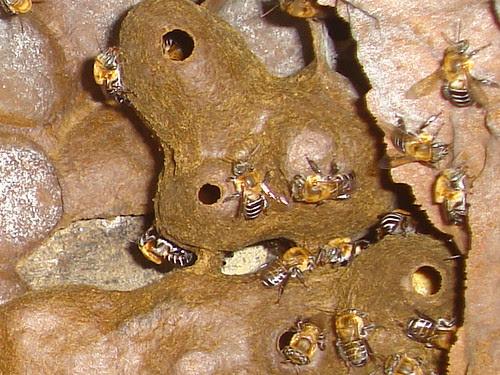 Potes de alimento (pólen) de Melipona scutellaris (uruçu)