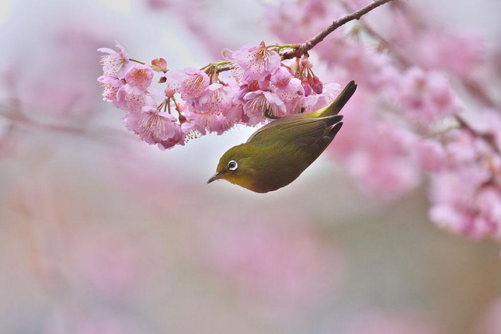 As floradas de cerejeiras mais bonitas em todo o mundo 13