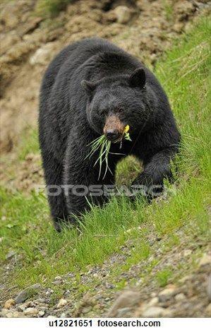 דוב שחור אמריקאי, (Ursus, americanus), לחפש, ל, שני האריה, ו, דשא, ב, תור אביב צפייה בתמונה הגדולה