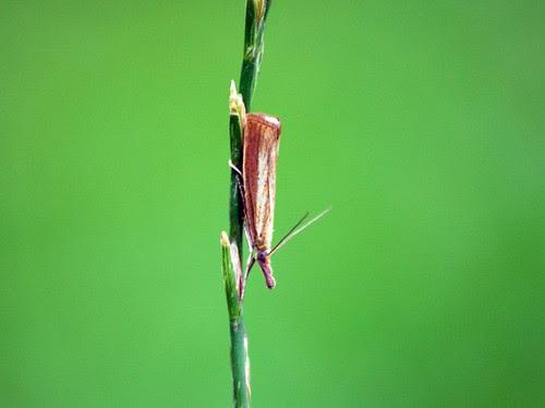 Garden Grass-Veneer (Chrysoteuchia culmella)