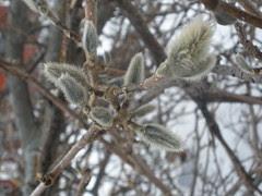 Northern Magnolia Buds