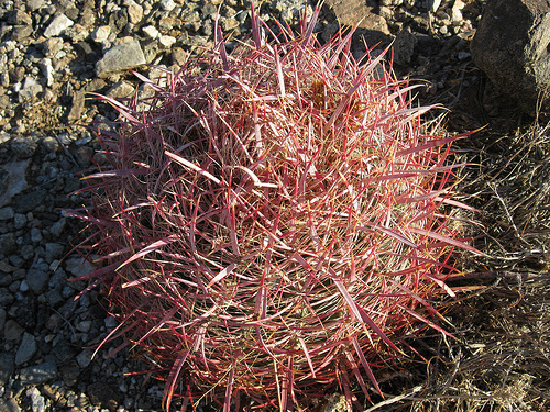 The Desert Cactus in Grand Canyon