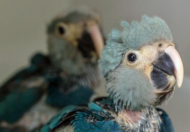 Exemplares de ararinha-azul nasceram em outubro em um centro de conservação no interior de São Paulo (Foto: Divulgação/ICMBio)