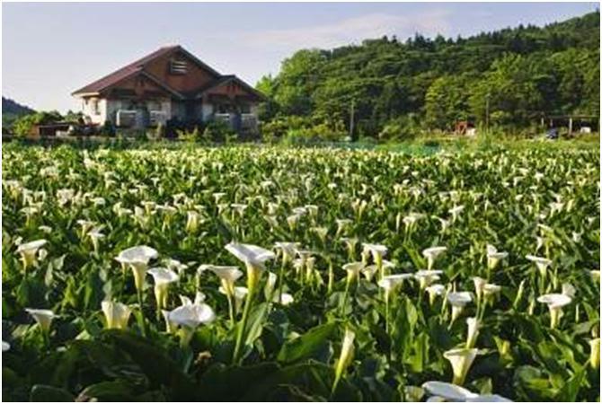 Bunga Lily Sang Ratu Kebun