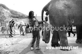 durian tahi gajah