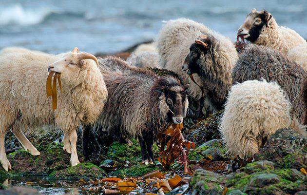 Resultado de imagen de sheep north ronaldsay