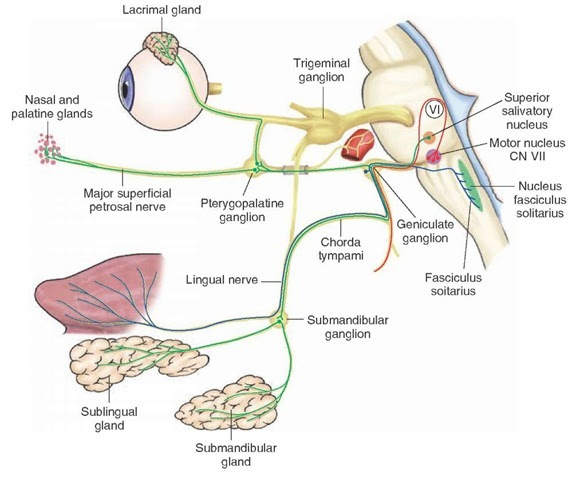 The Cranial Nerves (Organization of the Central Nervous ...