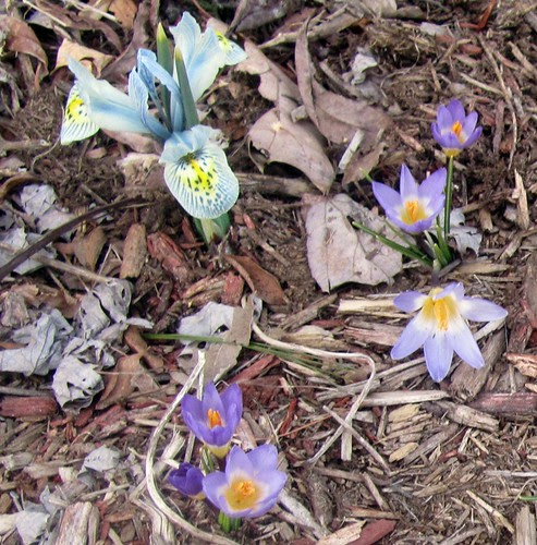 Miniature Iris & Croci