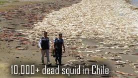 Dead squid in chile