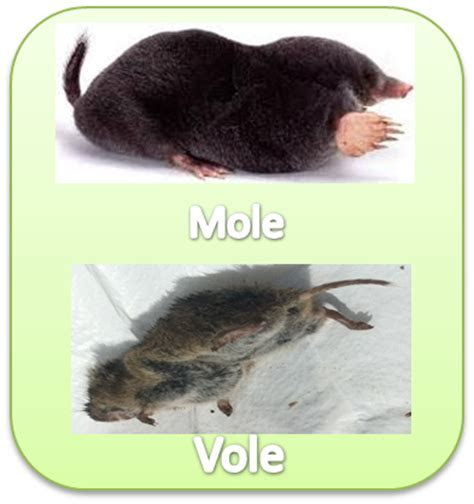 Top 28    Voles Vs Moles   shrew or mole mouse or vole the outside story, mole vs vole 28 images