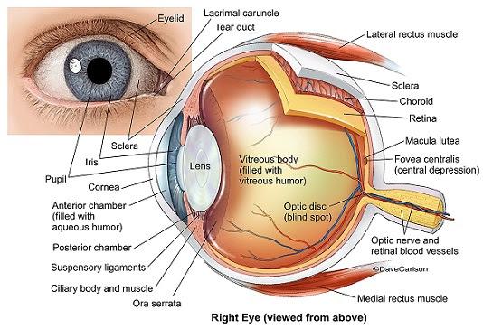 Eye Anatomy 2
